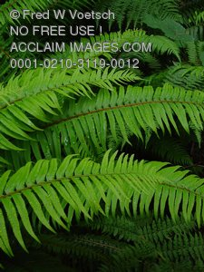 Clip Art Stock Photo of Ferns in a Redwood Forest
