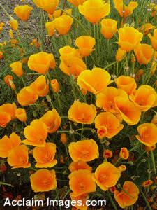 Pictures of Poppies