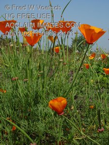 Photos and Pictures of Poppies