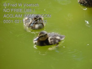 Clip Art Stock Photo of Ducklings