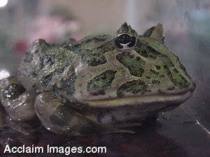 Stock Photo of a Frog in Water