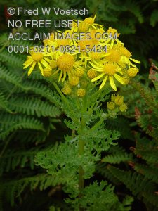 Clip Art Stock Photo of Yellow Wildflowers; Yellow Spiny Daisies