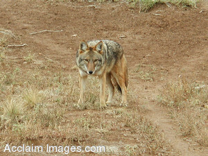 Stock Photo of a Coyote in New Mexico