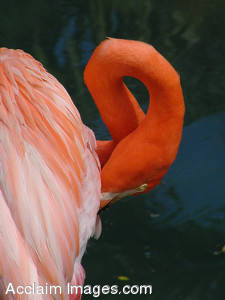 Stock Photograph of a Pink Flamingo