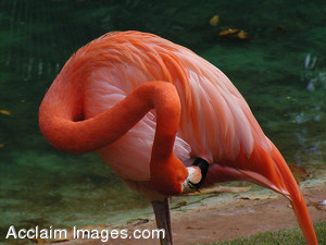 Free Stock Photo of a Pink Flamingo