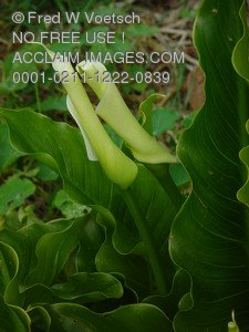 Clip Art Stock Photo of Calla Lilies