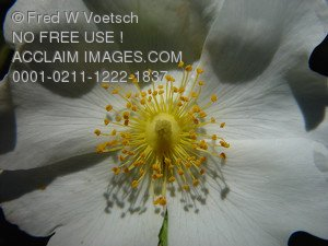 Wildflower Pictures, Photos and Photographs