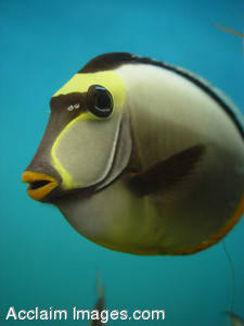 Stock Photograph of a Trigger Fish