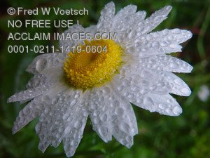 Clip Art Stock Photo of a White Dew Covered Daisy