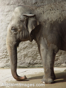 Free Stock Photography of an Elephant