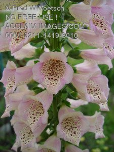 Stock Photo Clip Art of Pink Foxglove Flowers