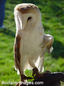 Stock Clipart Photograph of a Barn Owl With an Injured Wing