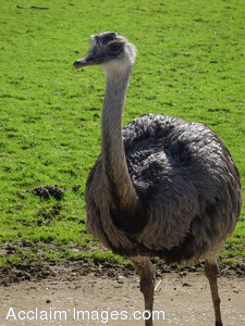 Stock Clipart Photo of an Ostrich