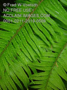 Stock Image of a Dew Covered Fern