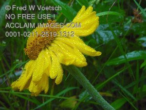 Stock Image of a Yellow Daisy