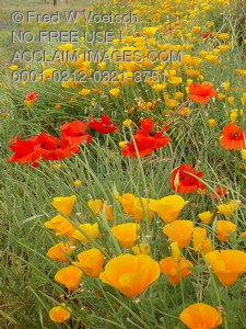 Clip Art Stock Photo of California and Oriental Poppies in a Field