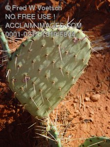 Stock Image of a Prickly Pear Cactus