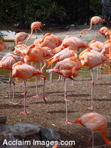 Stock Photography of a Flock of Pink Flamingos