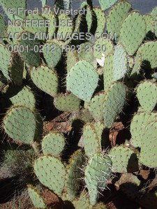 Stock Photo Clip Art of Prickly Pear Cactus
