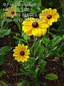 Stock Photo Clip Art of Black Eyed Susan Flowers