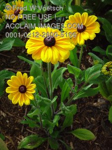 Clip Art Stock Photo of Brown Eyed Susan Flowers