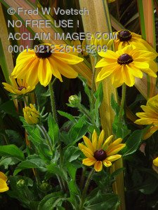 Stock Image of Brown Eyed Susans
