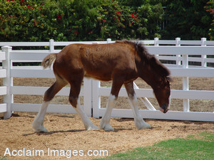 Stock Clipart Photo of a Clydesdale Foal