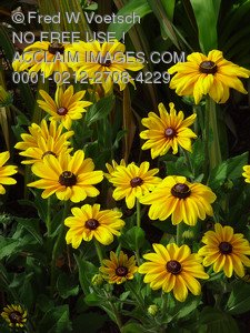 Stock Image of Brown Eyed Susan Flowers