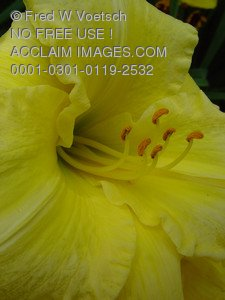 Stock Photo Clip Art of a Yellow Daylily