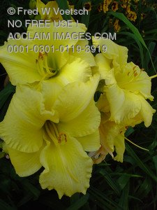 Stock Photo Clip Art of Yellow Day Lilies