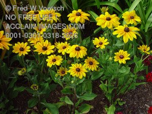 Stock Photo Clip Art of Brown Eyed Susan Flowers