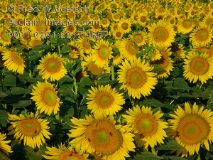 Stock Photo of a Sunflower Field
