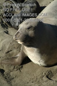 Stock Photo of Elephant Seals