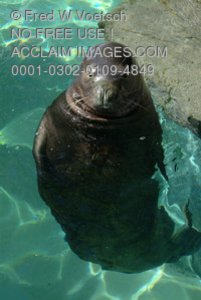 Stock Photo of a Hawaiian Monk Seal