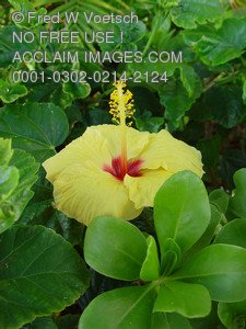 Stock Photo of a Yellow Hibiscus