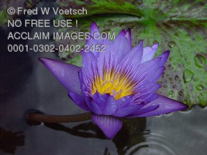 Stock Photo of a  Lotus