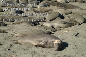 Stock Photo of Elephant Seals Lounging On a Beach