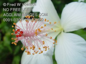 Stock Photo of a White Hibiscus Flower