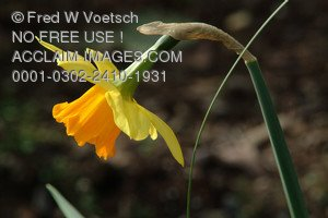 Stock Photo of a  Daffodil
