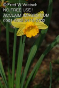 Stock Photo of a Yellow Daffodil
