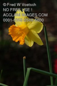 Stock Photo of a Daffodil Flower