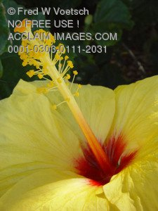 Stock Photo of a Yellow Hibiscus Flower