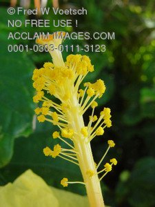 Stock Photo Clip Art of a Stamen On a Yellow Hibiscus Flower