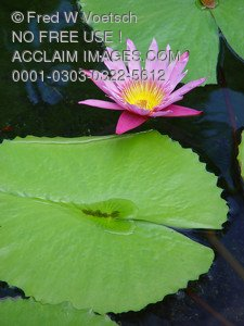 Stock Photo of a Pink Lotus