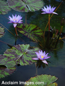 Stock Image of Purple Water Lilies