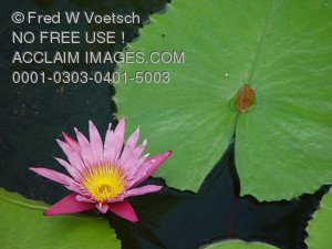 Stock Photo of a Pink Water Lily