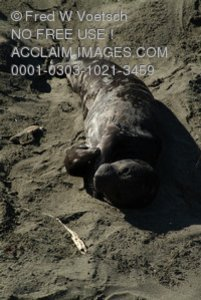 Stock Photo of a Baby Elephant Seal