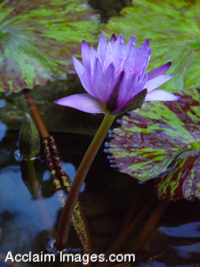 Stock Photo of a Lavender Lotus
