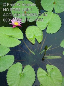Stock Photo of a Lotus in a Lily Pond