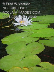 Stock Photo of a White Lotus and Lily Pads